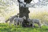 Meadow  Sheep  Young Animals  Graze