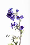 Larkspur  Consolida Regalis  Detail  Blossoms