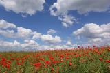 Schleswig-Holstein  Field with Poppies