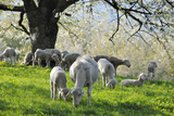 Meadow  Sheep  Graze  Cherry Trees