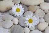 Margarites Blossoms  Stones  Still Life