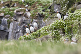 Iceland  Grimsey  Rock  Atlantic Puffin  Fratercula Arctica