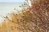 The Baltic Sea, RŸgen, Rose Hip Shrub Papier Photo par Catharina Lux