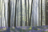 European Beech Forest (Fagus Sylvatica) and Bluebells (Hyacinthoides Non-Scripta) in the Backlight