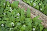 Forest Floor  Trunk  Wild Garlic