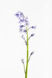 Forest Hyacinth  Hyacinthoides Non-Scripta