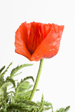 Poppy  Papaver Spec  Detail  Blossom  Red