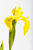 Iris  Iris Pseudacorus  Detail  Blossom  Yellow