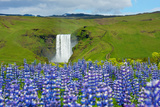 Skogafoss  Lupins in the Foreground