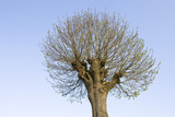 Spherical Lime Tree  Spring  from Below