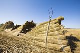 Field Landscape  Harvest  Reed  Bundled