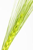 Barley Ear  Hordeum Vulgare