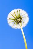 Dandelion  Blowball  Taraxacum Officinale  Blue Background