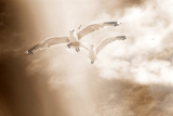 Two Gulls in Flight  Sky  Clouds  Sepia-Coloured