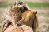 Iceland Horses  Paddock  Cropped