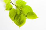 Lime Leaves  Tilia