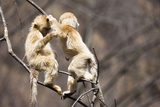 Young Monkeys  Golden Snub-Nosed Monkeys  Rhinopithecus Roxellana  Tree  Branches  Hang  Play