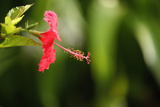 The Seychelles  La Digue  Hibiscus  Red Blossom