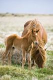 Iceland Horses  Paddock