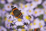 Butterfly  Red Admiral and Insect on Aster Blossoms