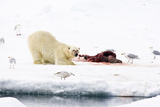 Norway  Spitsbergen  the Atlantic  Floes  Polar Bear  Ursus Maritimus  Prey  Eating