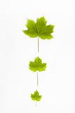 Sycamore  Acer Pseudoplatanus  Three