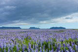 Iceland  Nature  View Direction Iceland  Dyrholaey  Lupin Field