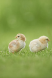 Chicken  Gallus Gallus Domesticus  Chicks  Meadow  at the Side  Is Standing
