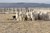Argentina  Patagonia  Province Santa Cruz  Sheep Farm  Flock of Sheep  Sheepdog