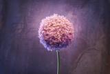 Allium  Flower  Blossom  Still Life  Allium Giganteum  Pink