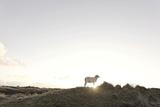 Sheep on Dune  the Sun  Back Light  List  Island Sylt  Schleswig Holstein  Germany