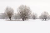 Germany  North Rhine-Westphalia  Pollard Willow Trees in Winter