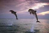 Sea  Ordinary Dolphins  Delphinus Delphis  Jump  Evening-Mood