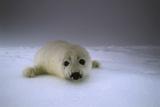 Canada  Iles De La Madeleine Saddle-Seal Pagophilus Groenlandicus Young Snow  Vigilance