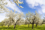 Blossoming Almond Trees on a Flower Meadow with Blue Sky  Surface Level  Santa Maria Del Cami