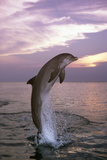 Sea  Ordinary Dolphin  Delphinus Delphis  Jump  Twilight  Series  Waters  Wildlife  Animal  Mammal
