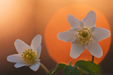 Anemone Flowers in Backlight
