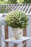 Flowerpot  Asters  Autumn Flowers  Chair