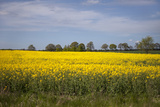 Rapeseed Field in Spring  Mecklenburg-Western Pomerania