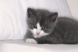 Couch  Cat  Young  Gray-Knows  Lying  Wearily  Portrait  Animals  Mammals  Pets