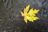 Autumn Leaf  Asphalt  Wet