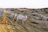 Sheep in the Wayside  List  Island Sylt  Schleswig-Holstein  Germany