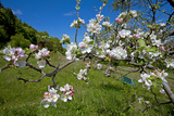 Luxembourg  Ansembourg  Castle Garden  Apple Tree Blossom  Spring