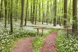 Beech Forest  Forest Path  Forest Floor  Wild Garlic  Allium Ursinum