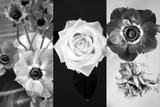 White Rose Blossom Infront of Dark Background