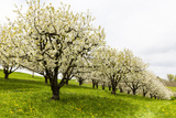 Blossoming Cherry Trees on a Meadow  Spring  Winersingen  Basel Country  Switzerland  Alps