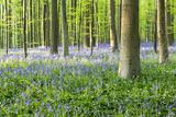 European Beech Forest (Fagus Sylvatica) and Bluebells (Hyacinthoides Non-Scripta)  Spring  Brussels