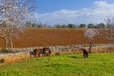 Europe  Spain  Majorca  Meadow  Donkey  Almonds