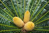 Encephelartos  Breadtree