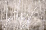 Wintry Grass with Hoarfrost